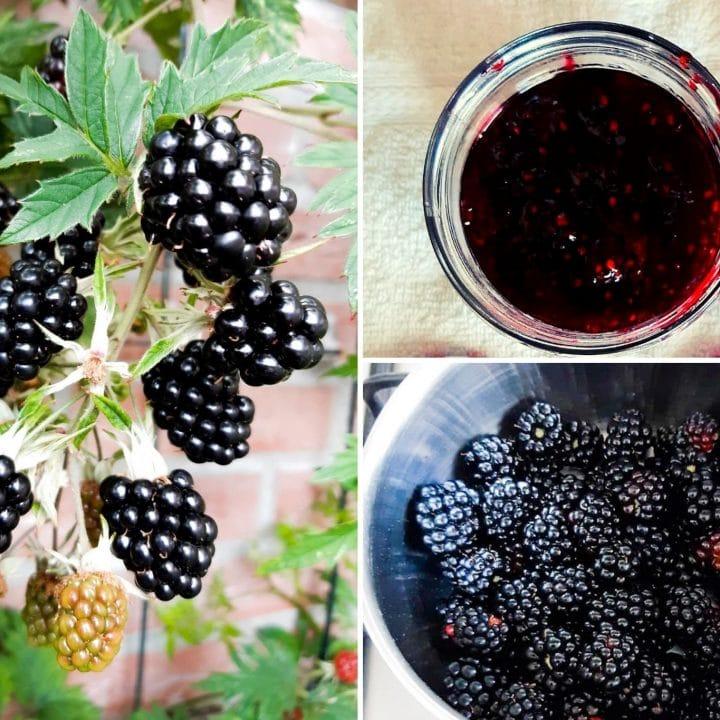 Blackberry jam and a blackberry plant